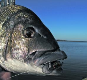 A sample of what the Gippsland Lakes can deliver with another lure crunching big bream.