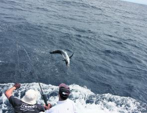 January is marlin time, so if you can, get out there and have a crack for one of these great battlers – whether that be a black, blue or striped.