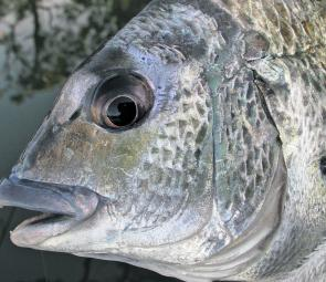 Plenty of bream will be around this month, so results should be good whether you prefer to use natural baits or lures.