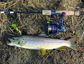 A decent Yackandandah Creek brown trout taken on a rooster tail spinner last season.