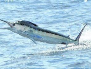 Marlin numbers are increasing as they follow the many bait schools now prolific along the coastline.