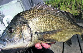 Big Glenelg bream can be found feeding along the edges during summer.