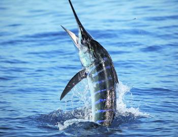 Striped marlin will be in good numbers this month.