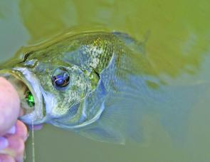 This bass had no problems finding a small surface lure in the turbid brown water.