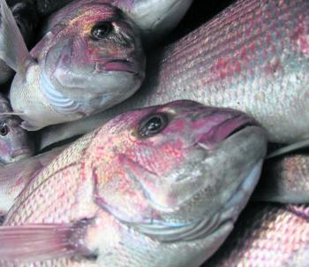 Snapper are on every anglers' mind in November.