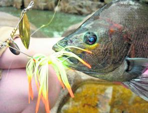 Sooties will hammer almost any lure, and fresh from the water can exhibit some amazing colours.