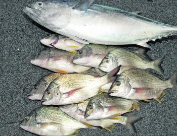 The author caught two mac tuna and turned the first one into all these bream and kept this one for the table.