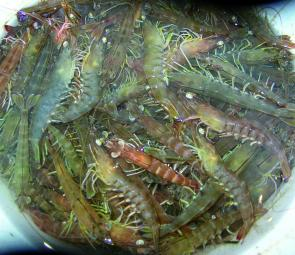 Green prawns prior to cooking.