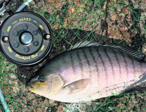 There's a range of great Alvey reels suitable for blackfish. This model is the 457A5E, the author's favourite when it comes to traditional float fishing with weed or cabbage baits off the rocks.