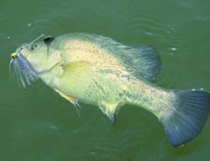 A yellowbelly that fell prey to a spinnerbait.