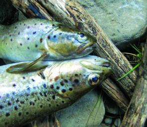 A nice couple of Supply River brown trout taken on garden worms by Ben Sherriff.