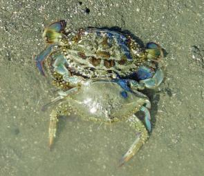 The author found this soft shell sand crab on the flats just as it was emerging out of its old shell.