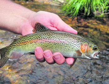 A brilliantly coloured Ovens River rainbow trout from the Harrietville area.