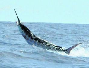 Striped, black and blue marlin should provide action aplenty.