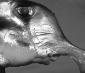Clearly designed to feed along the bottom, elephant fish have small mouths and are best targeted with little baits of pilchards or squid (image courtesy Jarrod Day).
