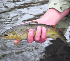 A pleasant brown trout surprise. Every so often you catch a thumper in the small pockets.