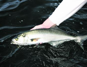 There have been solid tailor getting around Wagonga Inlet with 50cm models quite common.