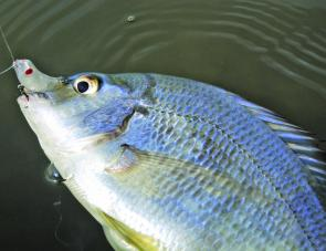 Bream are a little more wary than bass and are sometimes harder to temp.