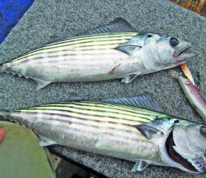 Bonito have shown up in droves. They're great as bream bait and good fun on very light gear.