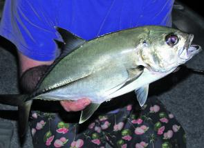 The last of the warm-water fish like this bigeye trevally will be shutting up shop this month.