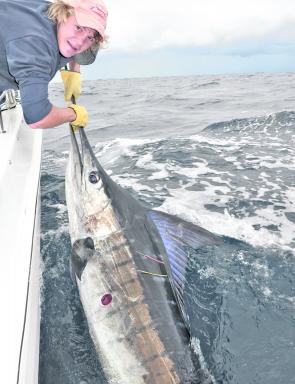Matt McEwan with a mid-Autumn striped marlin. Note the fresh bite on its belly from a cookie cutter shark.