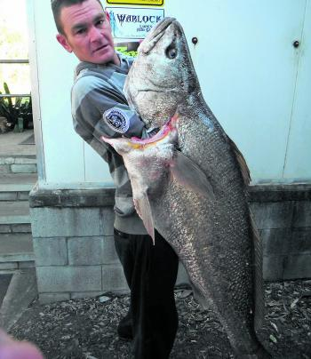 With the baitfish moving into the river, mulloway of this calibre can be expected in the coming weeks.