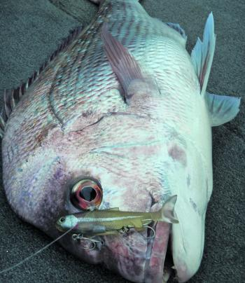 Another victim of the Samaki 100mm Thumpertail – a quality Moreton Bay snapper.