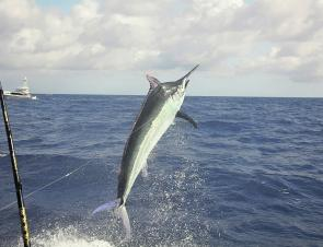 The last few months have produced a top rate marlin season (photo courtesy of Fishing Port Douglas and Saltaire Charters).