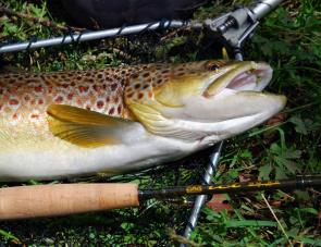 The Composite Development ICT six weight took this fine brown trout with ease.