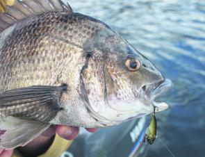 Blade style lures continue to become more popular for Tassie bream. Great lures for fishing to deeper holding bream.