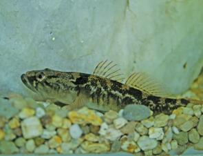 Gudgeon like to have something to shelter near when kept in tanks for long periods
