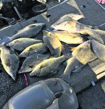 Three anglers caught these fish from a school using TN60 in 15 minutes – almost a full bag out!