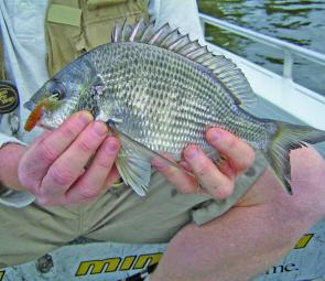 With a dropshot rig you never know what will turn up next, like this bream.