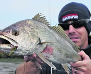 Tiny metal blades intended for bream also bring many school mulloway undone.
