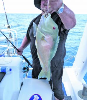 The paternoster, or dropper rig, with the hook on a dropper and sinker looped to the end sees popular use amongst reef anglers, like for this beautifully coloured Hervey Bay caught Venus tusk fish.