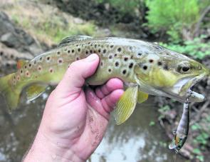 A typically underweight autumn brown trout caught in a small creek in the Kiewa Valley on a Damiki Pirami minnow.