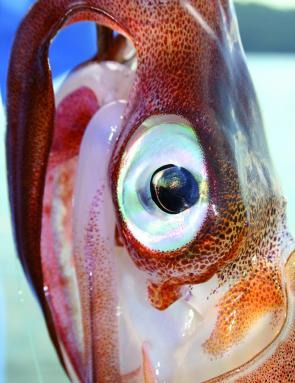 A squid head appeals to all sizes of kings, from rats to greenbacks.