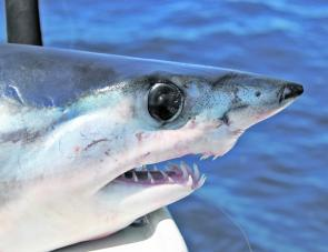 There will be a few little makos about the reefs this month but remember that even the little ones have sharp teeth.