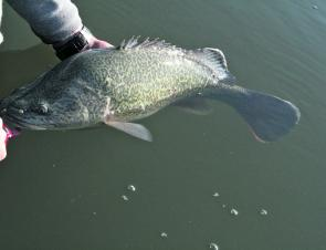 Small numbers of Murray cod are still being caught in the Bendigo region.