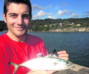 Chris Nessi with a Watson's leaping bonito from Sydney Harbour. They're more common further north and are smaller than the normal bonito and the stripes are broken.