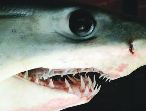 The mako has evil black eyes and teeth that can still be seen even when its mouth is shut.