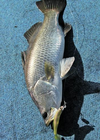 Paddle-tail soft plastics thrown into the white wash can be very effective on barramundi.