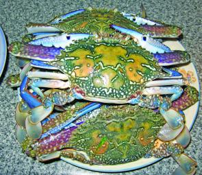Blue swimmer crabs have been reported all through the river, but the best areas have been the mangroves and wrecks on the Stockton side.
