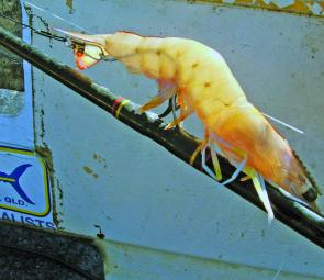 A large rigged prawn ready to be dropped down over a reef for the kingfish that are around in November.