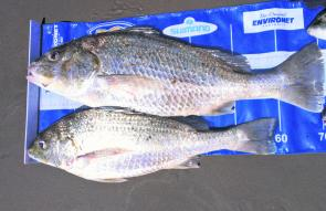 A couple of fine Coorooman creek grunter showing the quality of fish this season.