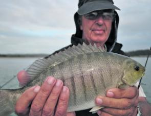 Expect to see plenty of luderick in the Bermagui River early in the new season.