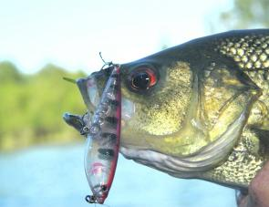 Bass are keen to bite again after the floods, fighting fit and happy to belt surface lures. Anywhere above Kempsey will be well worth trying.