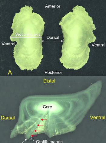 The otolith is the ear bone of a fish that is used to determine the fish's age.