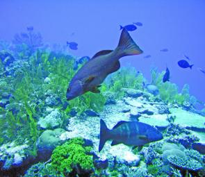 The tasty coral trout, a popular fish from Queensland's Great Barrier Reef.