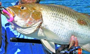 Fingermark thrive in warm water and are taking soft plastics and live squid.